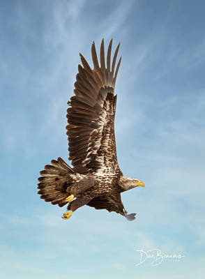 Dan Beauvais Royalty-Free and Rights-Managed Images - Juvenile Bald Eagle in Flight 1033 by Dan Beauvais