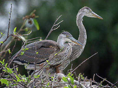 Bringing The Outdoors In - Juvenile Blue Herons by Rebecca Herranen