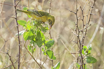Animals Royalty-Free and Rights-Managed Images - Juvenile Holubs Golden Weaver by Belinda Greb