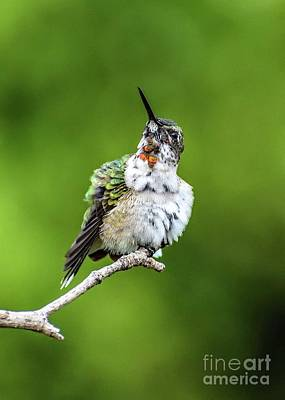 Grace Kelly - Juvenile Male Ruby Throated Hummingbird Displaying His Throat Feathers by Cindy Treger