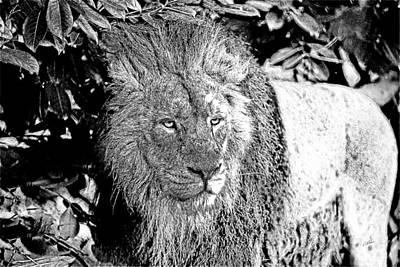 Animals Drawings - Kalahari Lion -DWP1260872 by Dean Wittle