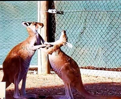 Olympic Sports - Kangaroos  by Miriam Marrero