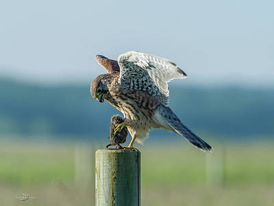 Photograph - Kestrels landing with the prey on the roundpole by Torbjorn Swenelius