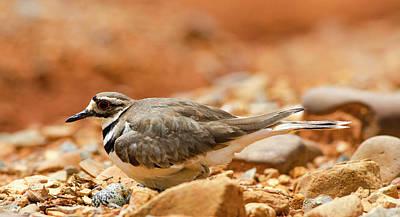 Photograph - Killdeer Bird by Jim Cook