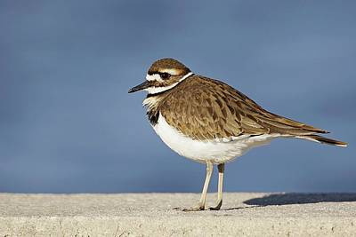 Lori A Cash Royalty-Free and Rights-Managed Images - Killdeer in Blue by Lori A Cash