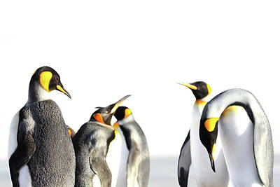 Vermeer Rights Managed Images - King penguin isolated, white background Royalty-Free Image by Martin Schneiter