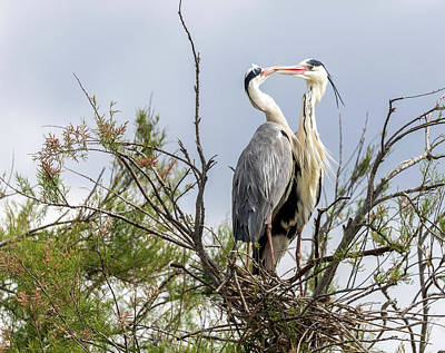 Photograph - Kissing Herons by Pietro Ebner