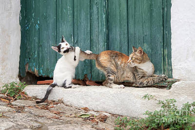 Photograph - Kitten Chasing Mom's Tail by Katho Menden