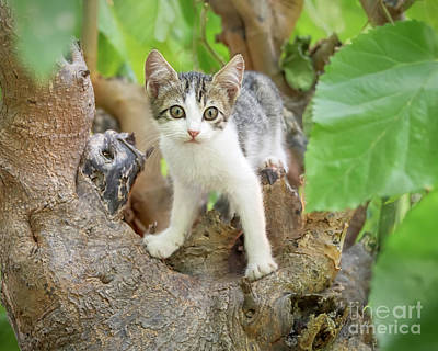 Photograph - Kitten looking out of a Tree by Katho Menden