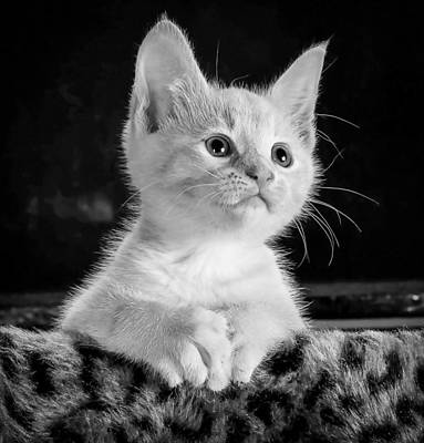Royalty-Free and Rights-Managed Images - Kitty Cat Kitten Pet 45201 by Celestial Images