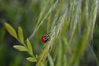 Animals Photos - Ladybug Having a Drink of Dew by Gaby Ethington