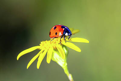 Royalty-Free and Rights-Managed Images - Ladybug on Flower by Grant Glendinning