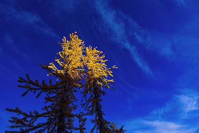 Royalty-Free and Rights-Managed Images - Larches 9 by Pelo Blanco Photo