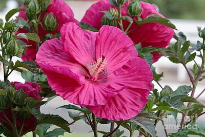Old Masters Royalty Free Images - Large Hibiscus Flower with Buds Royalty-Free Image by Carol Groenen