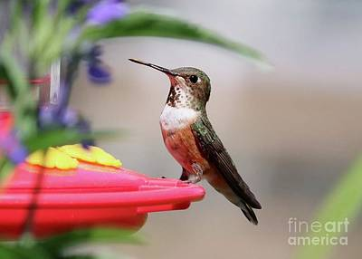 Just Desserts Rights Managed Images - Laser Focus Hummingbird Royalty-Free Image by Carol Groenen