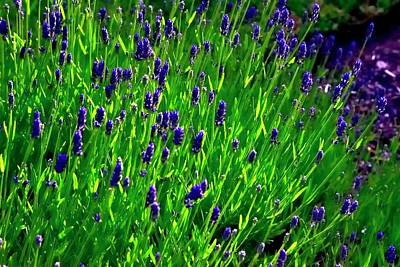 Jerry Sodorff Royalty-Free and Rights-Managed Images - Lavendar Blossoms Stems by Jerry Sodorff