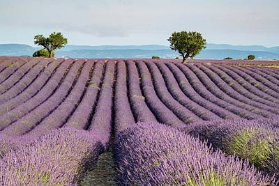 Landscapes Royalty-Free and Rights-Managed Images - Lavender Field by Rob Hemphill