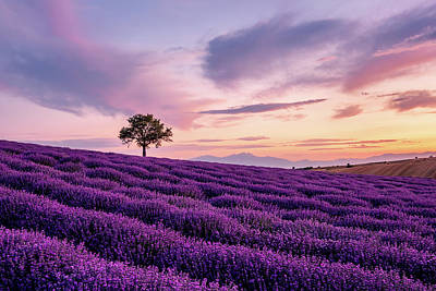 Safari - Lavender field with a Lonely Tree and a Mountain in the Background at Sunset by Alexios Ntounas
