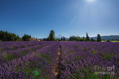 Royalty-Free and Rights-Managed Images - Lavender Valley Farms by Michael Ver Sprill