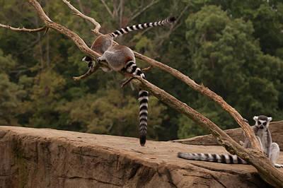 Going Green - Lemur Preparing To Jump by Chris Flees