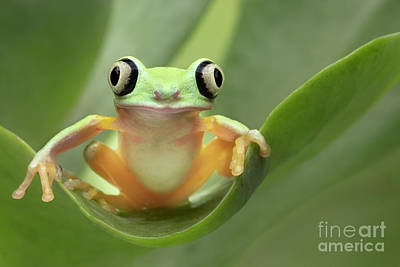 Modern Sophistication Line Drawings Royalty Free Images - Lemur Tree Frog on a Leaf Royalty-Free Image by Linda D Lester