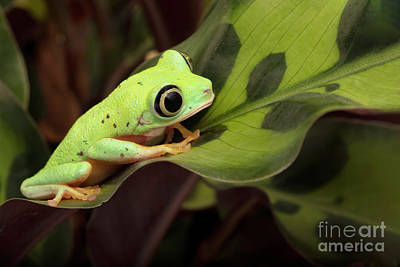 Garden Tools - Lemur Tree Frog on a Spitted Leaf by Linda D Lester