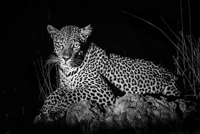 Royalty-Free and Rights-Managed Images - Leopard Lying on Brown Rock by Celestial Images