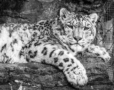 Royalty-Free and Rights-Managed Images - Leopard Lying on Rock_0001 by Celestial Images