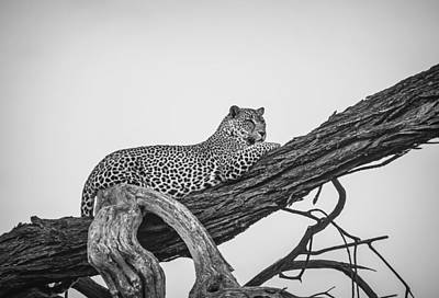 Royalty-Free and Rights-Managed Images - Leopard on Brown Tree Branch_0001 by Celestial Images