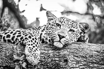 Royalty-Free and Rights-Managed Images - Leopard on Brown Tree Branch_0002 by Celestial Images