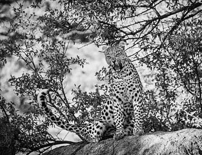 Royalty-Free and Rights-Managed Images - Leopard on Siting Tree Branch by Celestial Images