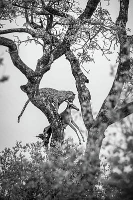 Royalty-Free and Rights-Managed Images - Leopard on Tree Branch by Celestial Images