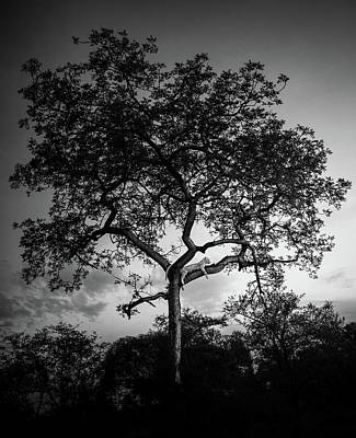 Royalty-Free and Rights-Managed Images - Leopard resting on top of Tree by Celestial Images