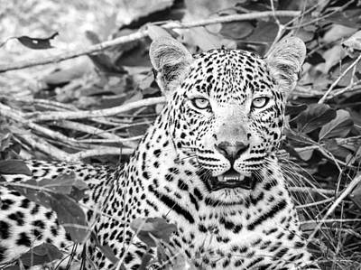 Royalty-Free and Rights-Managed Images - Leopard Sitting on Green Grass by Celestial Images