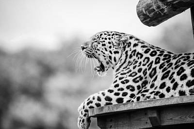 Royalty-Free and Rights-Managed Images - Leopard Yawning Lying on Brown Wood by Celestial Images