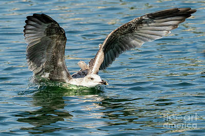 Lady Bug - Lesser Black-backed Gull Larus fuscus Costa Ballena Cadiz by Pablo Avanzini