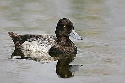 Lori A Cash Royalty-Free and Rights-Managed Images - Lesser Scaup Reflections by Lori A Cash