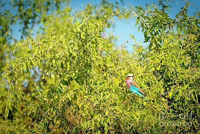 Royalty-Free and Rights-Managed Images - Lilac Breasted Roller Bird by THP Creative