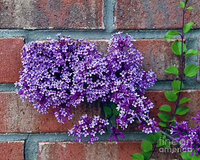 Little Mosters - Lilac on Brick by J Lloyd
