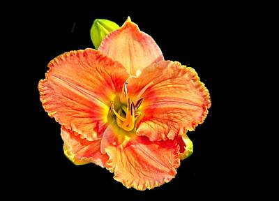 Photograph - Lily On Black by Allen Nice-Webb