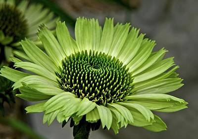 Comedian Drawings Rights Managed Images - Lime Coneflower 1 Royalty-Free Image by Douglas Barnett