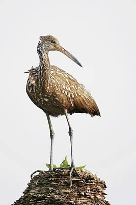 Lori A Cash Royalty-Free and Rights-Managed Images - Limpkin Standing on Palm Tree by Lori A Cash