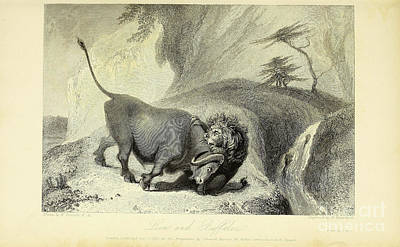 Animals Drawings - Lion And Buffaloe j by Historic illustrations