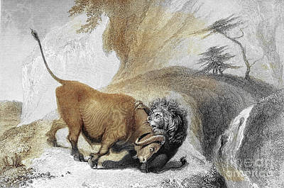 Animals Drawings - Lion And Buffaloe j2 by Historic illustrations