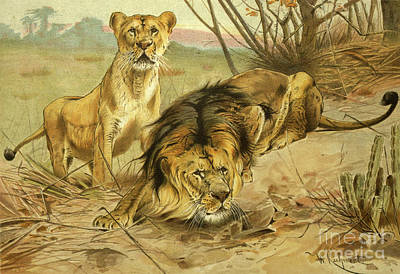 Animals Drawings - Lion and Lioness l2 by Historic illustrations