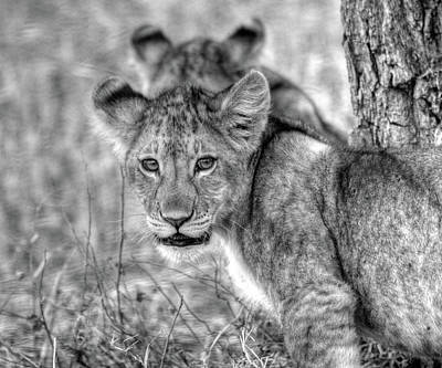 Photograph - Lion Cub by Dawn J Benko
