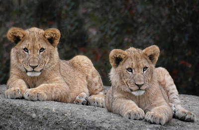 Animals Photos - Lion cubs - brother and sister by Joachim G Pinkawa