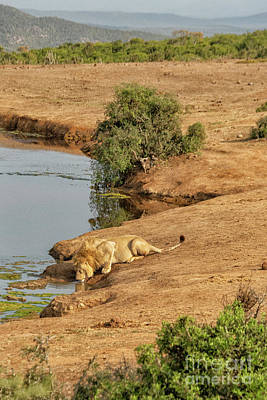 Animals Royalty-Free and Rights-Managed Images - Lion drinking at watering hole by Patricia Hofmeester