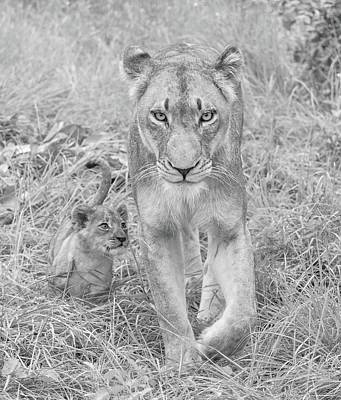 Vintage Pharmacy - Lioness and Cub Walking by Rebecca Herranen