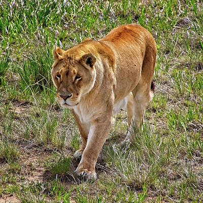 Kids Alphabet - Lioness On The Prowl #3 by Loren Gilbert